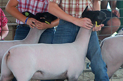 4-H children showing lambs at the 4-H fair